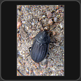 Silphidae. Silpha tristis Illiger, 1798